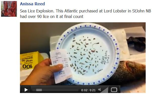 Sobey sea lice salmon Anissa video