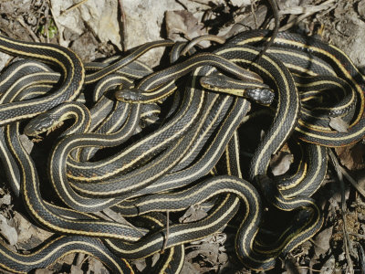 Vipers nest