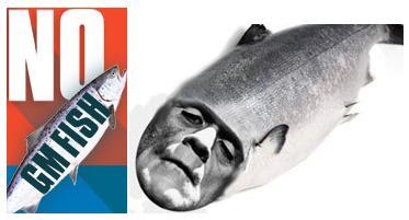 GM salmon No