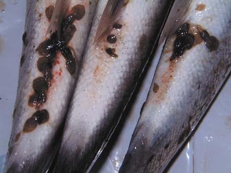 Sea lice photo