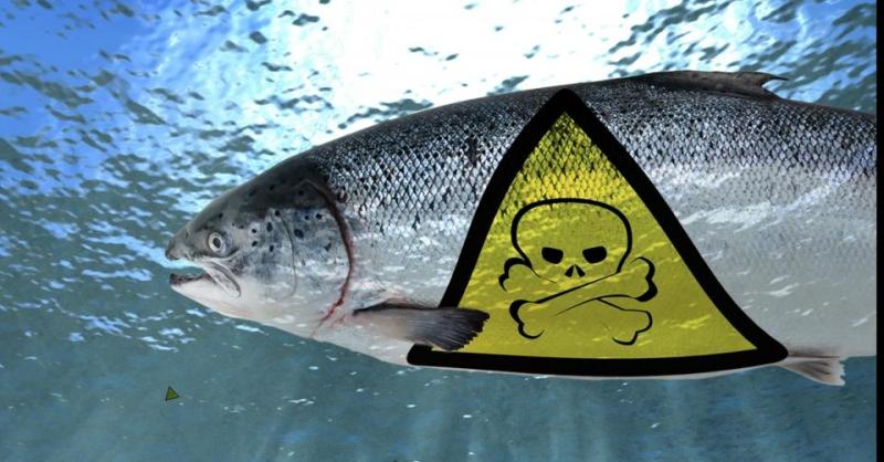Toxic Salmon