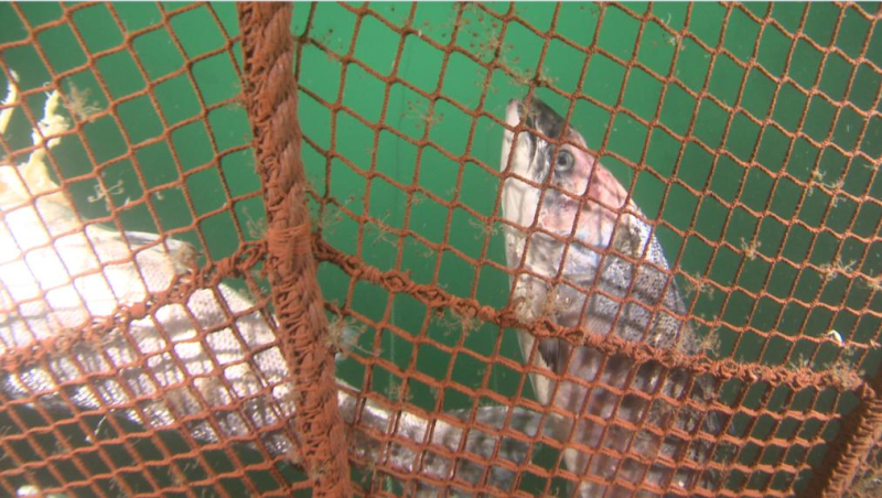 David Ainsley photo #2 dead salmon at bottom of net small res