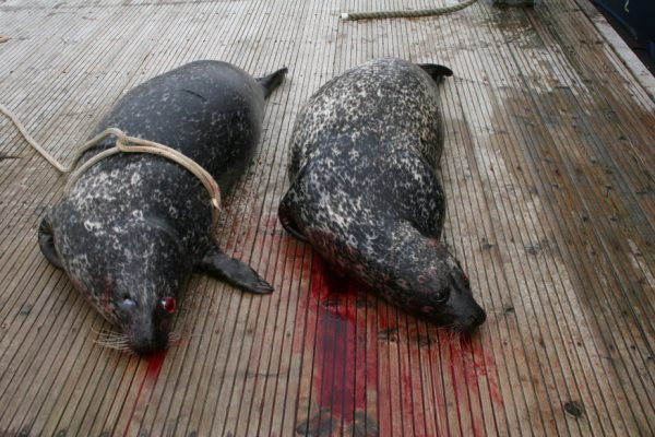 Nigel Smith photo #4 bloody seals on deck