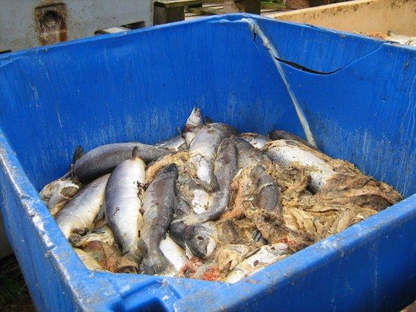 Dead salmon on Arran in Scotland