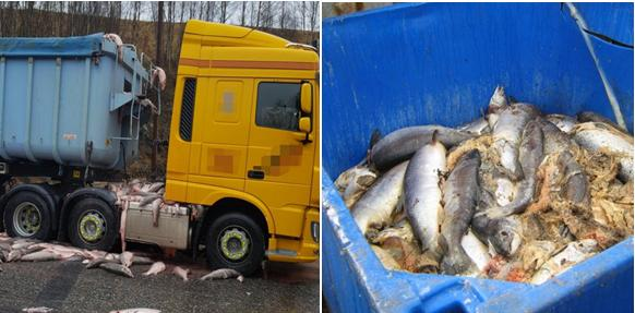 Dead salmon photos truck and bin