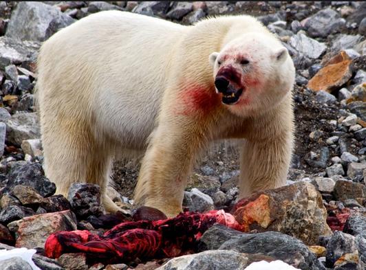 SP polar bear