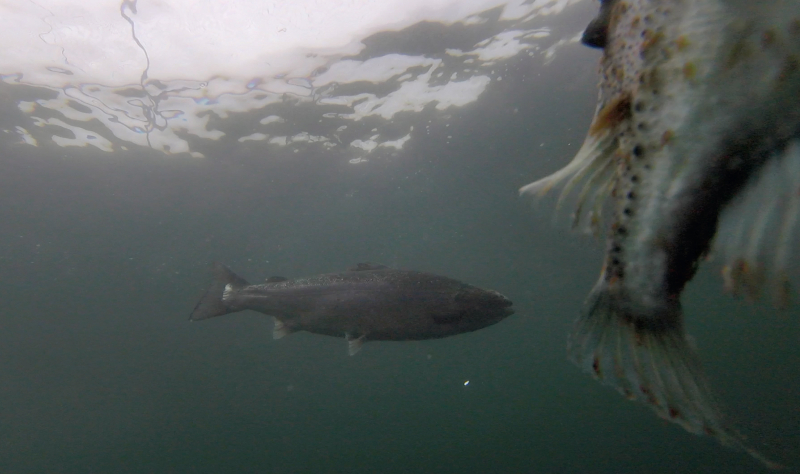 Photo Still #11 Licey lumpfish with salmon swimming alongside