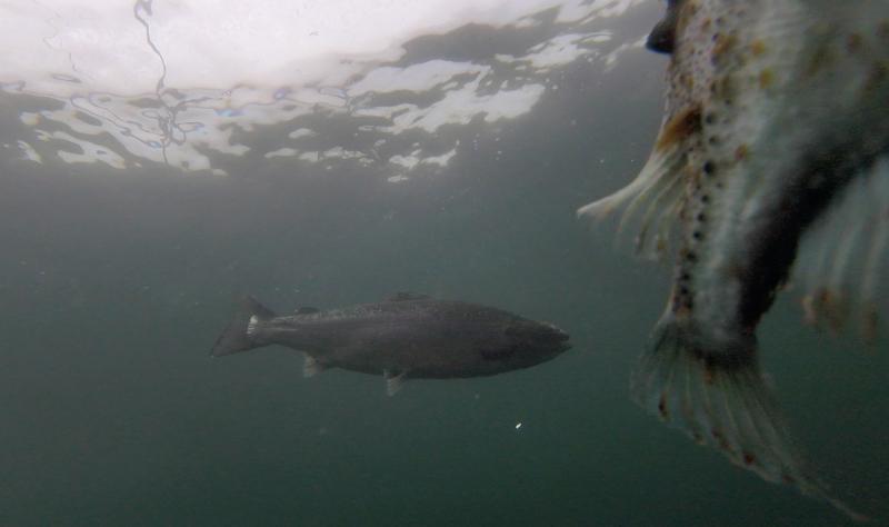 Photo Still #11 Licey lumpfish with salmon swimming alongside