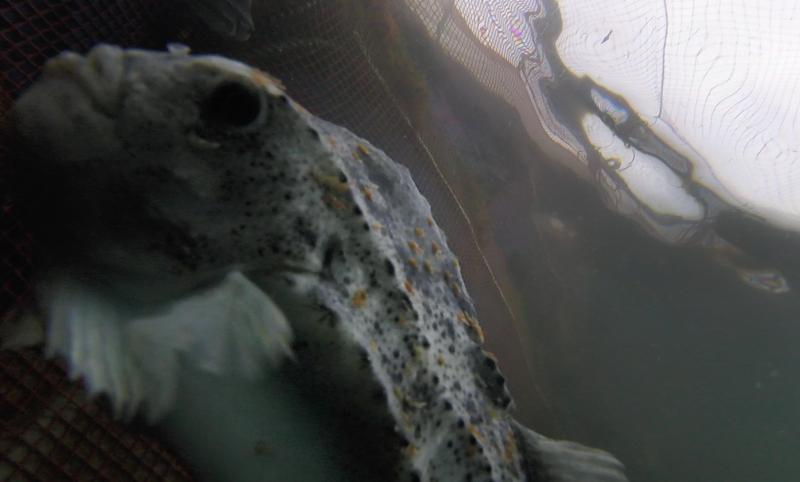 Photo Still #1 Licey lumpfish