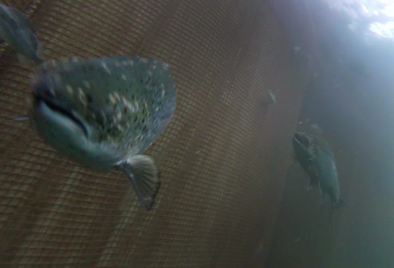Photo Still #4 Lice infested salmon