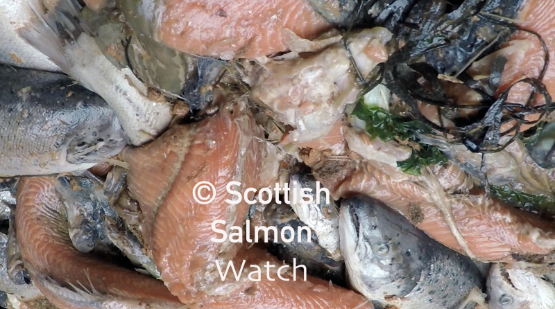 Mort photo #4 Strondoir Bay 16 Sept 2018 skinless salmon SSW logo