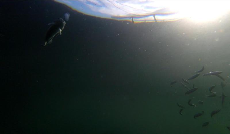 Photo Arran #1a wild fish with lumpsucker GOPRO1183 2 min 10 secs