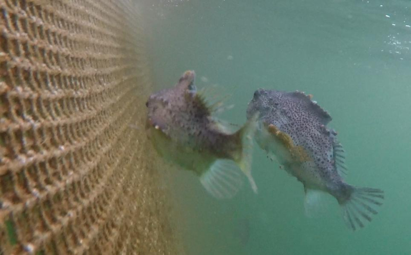 Photo #1 licey cleaner fish