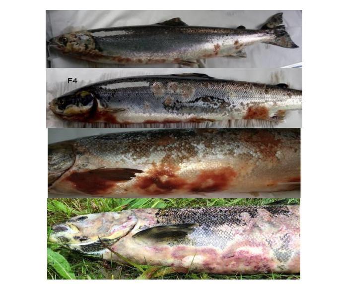 PR Sick Scottish Salmon 30 Sept 2019 #2
