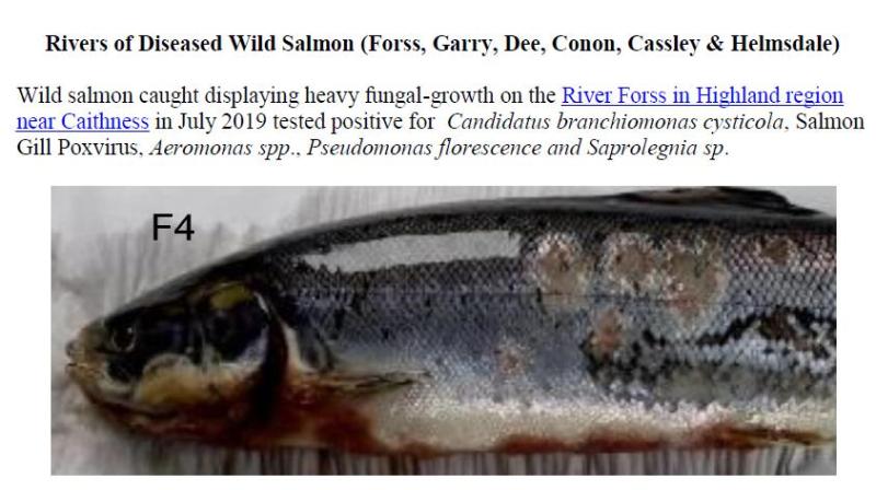 PR Sick Scottish Salmon 30 Sept 2019 #6 wild fish photos Forss