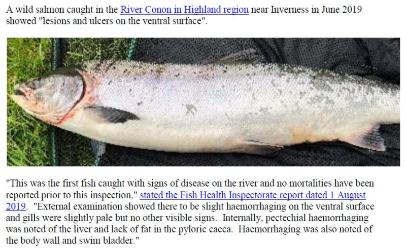 PR Sick Scottish Salmon 30 Sept 2019 #9 wild fish photos Conon
