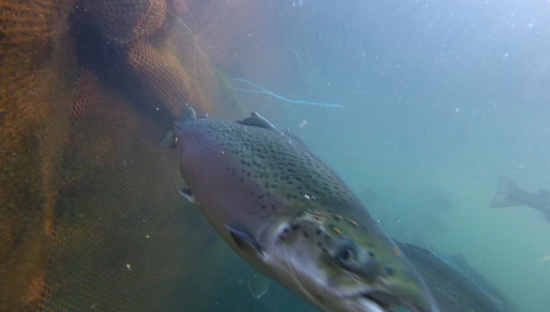 Photo Arran #4 lice-infested salmon GOPRO1189 2 min 37 secs