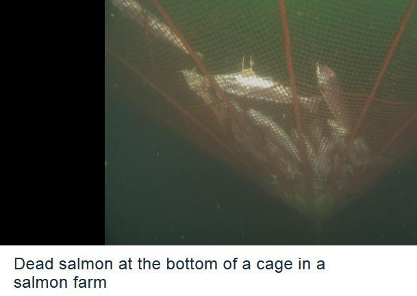 David dead salmon video