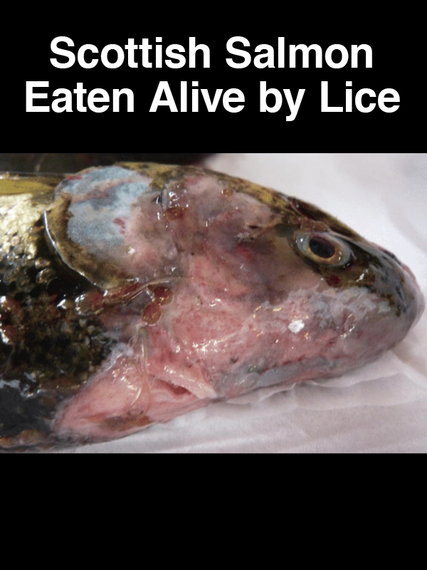 #23 Scottish Salmon Eaten Alive by Lice
