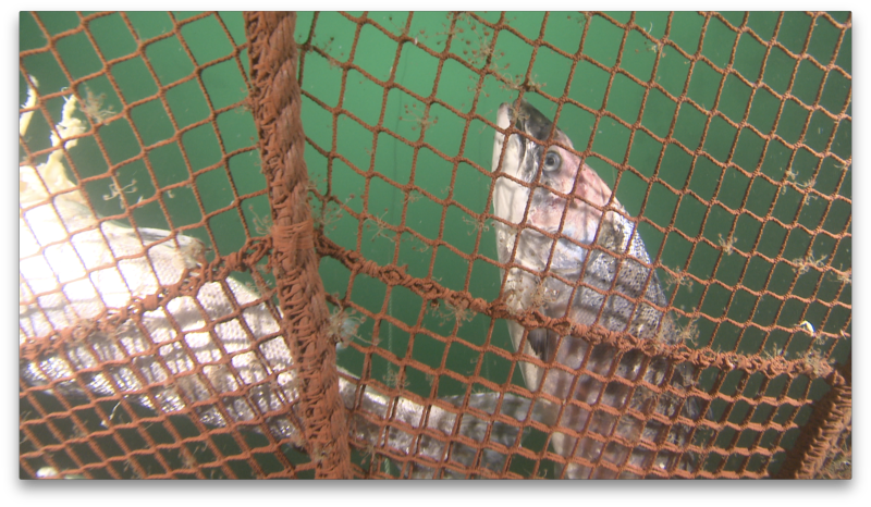 David Ainsley photo #2 dead salmon at bottom of net