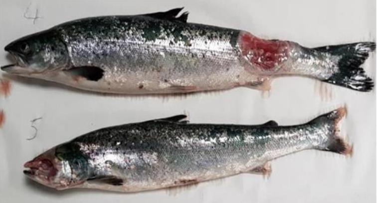 Media Backgrounder 26 Sept 2019 Disease-Ridden Scottish Salmon is Dead in the Water #2