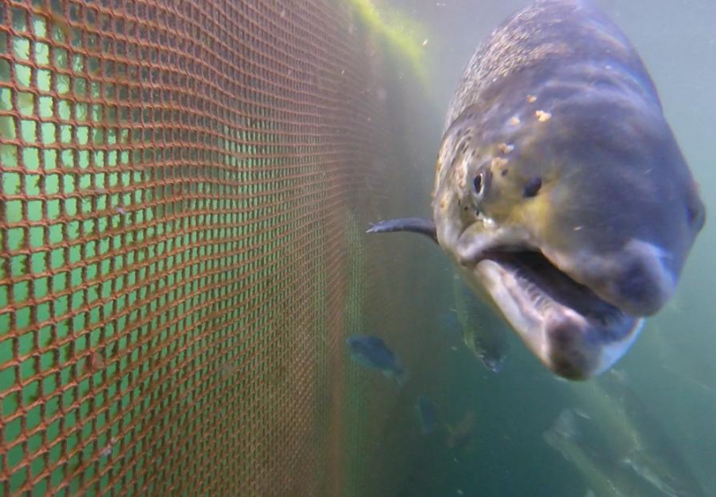 Photo Arran #1 lice-infested salmon GOPRO1187 1 min 25 secs