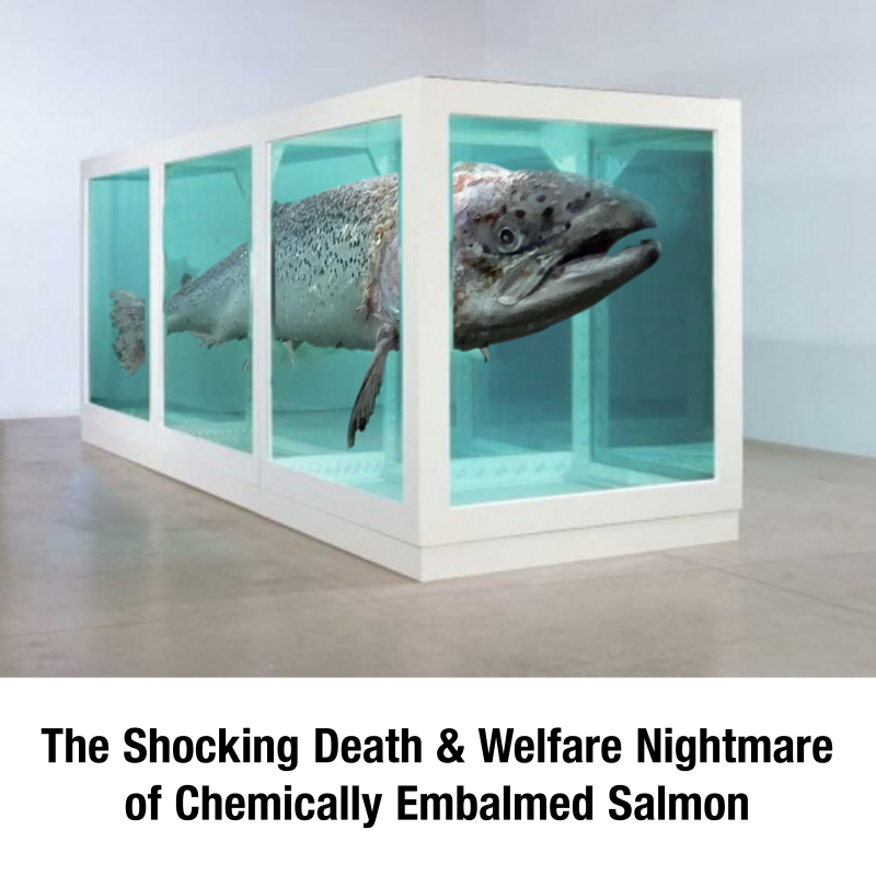 Hirst Salmon Spoof high res