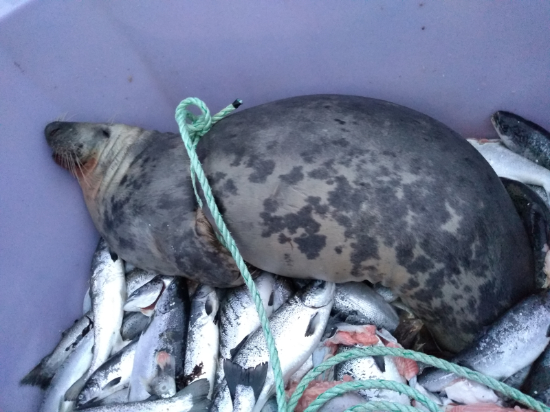 Photo Seal with farmed salmon M45-20-1