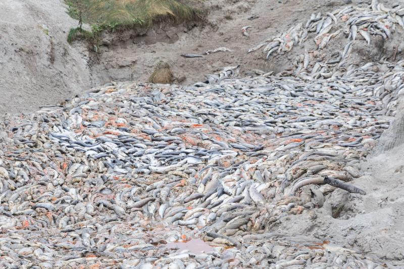 Dead-salmon-dump-one-via-Corin-Smith