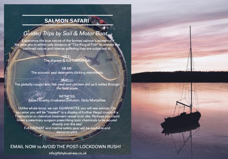 Safari salmon