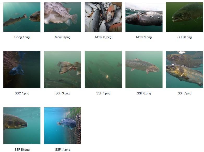 CIWF Scottish Salmon Investigation March 2021 #11 Stills from Investigation