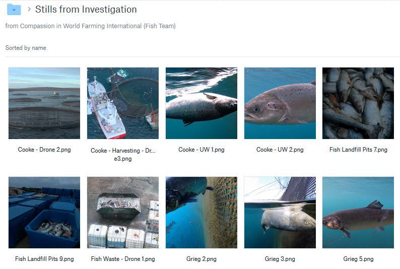 CIWF Scottish Salmon Investigation March 2021 #10 Stills from Investigation