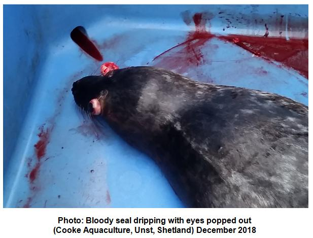 Photo #2 Cooke bloody seal eyes popping out Unst December 2018