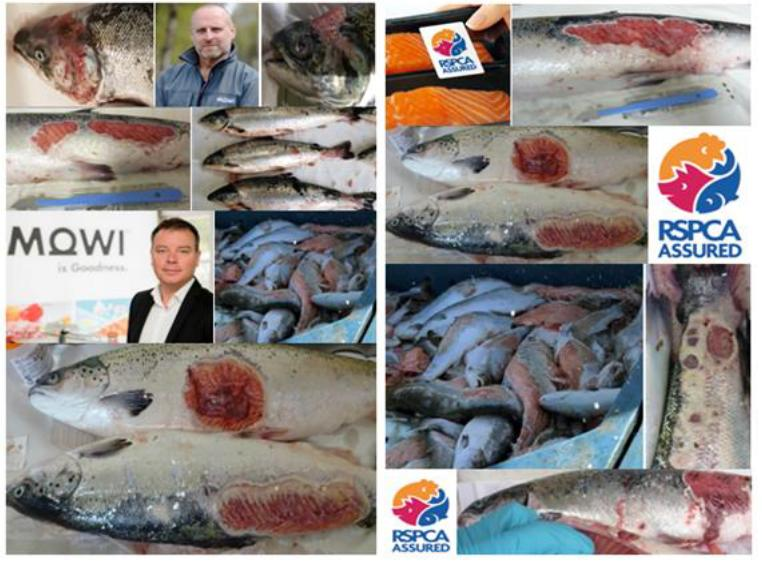 The Faces of Scottish Salmon Feb 2020 #2