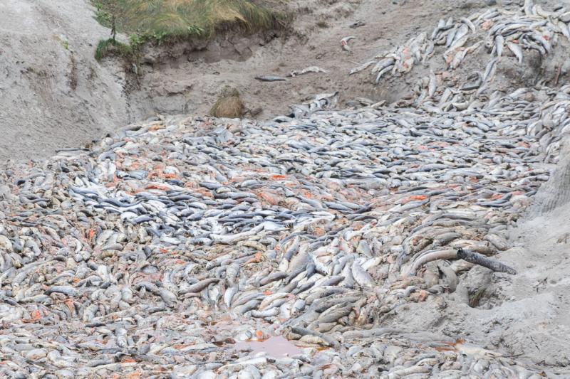 Dead-salmon-dump-one-via-Corin-Smith