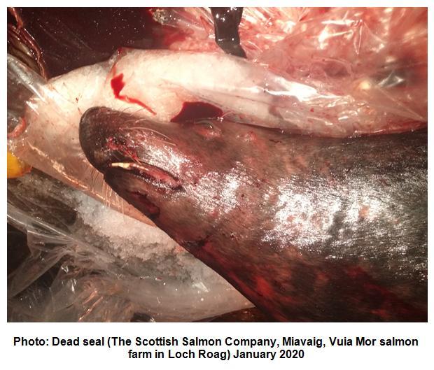 Photo #3 Dead seal Scottish Salmon Company Miavaig  Vuia Mor  January 2020
