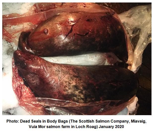 Photo #4 Dead seals in body bags Scottish Salmon Company Miavaig  Vuia Mor  January 2020