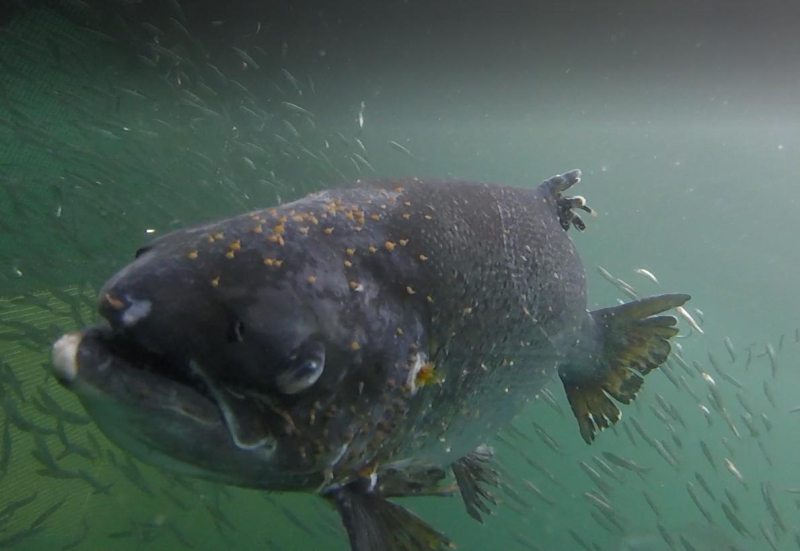Poll Na Gille 17 July 2021 photo #5 lice infested salmon with small fish swimming