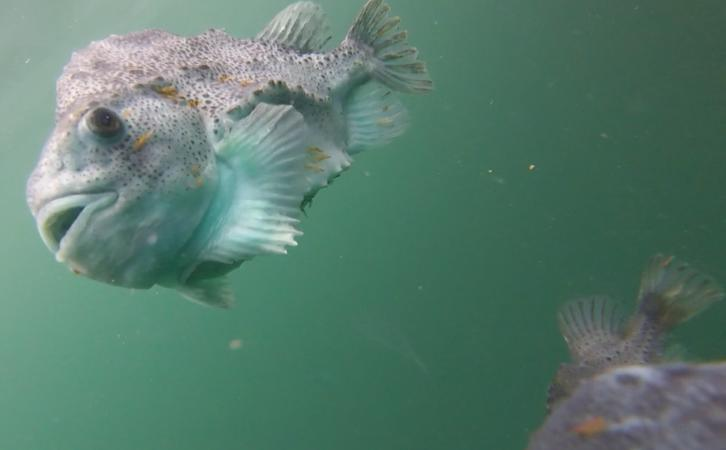 Bay of Dead Heads 16 July 2021 photo #5 cleaner fish with lice