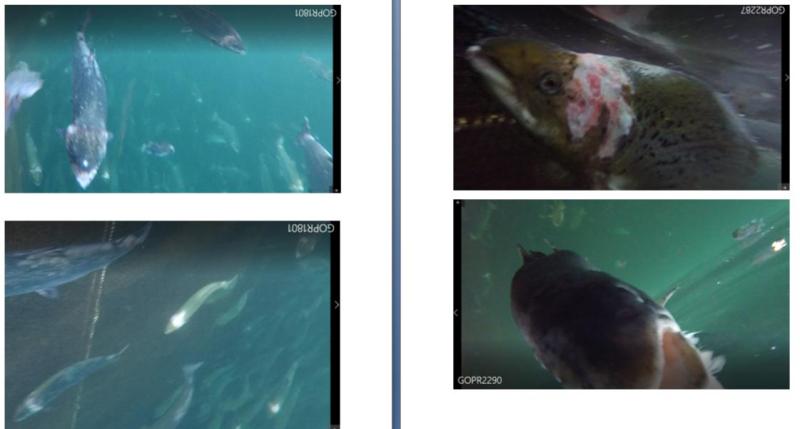 Photos at The Scottish Salmon Company Strome salmon farm in Loch Carron on 6 Sept 2021 #2