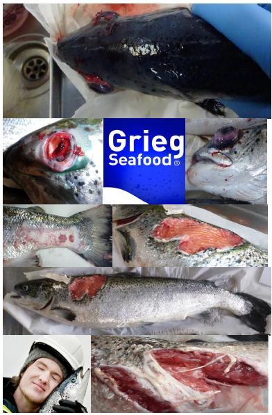 The Faces of Scottish Salmon Feb 2020 #9 Grieg