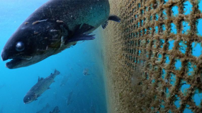 CIWF Scottish Salmon Investigation March 2021 #15 Grieg lice infested