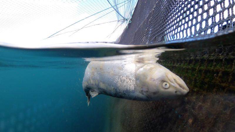 CIWF Scottish Salmon Investigation March 2021 #16 Grieg dead at surface